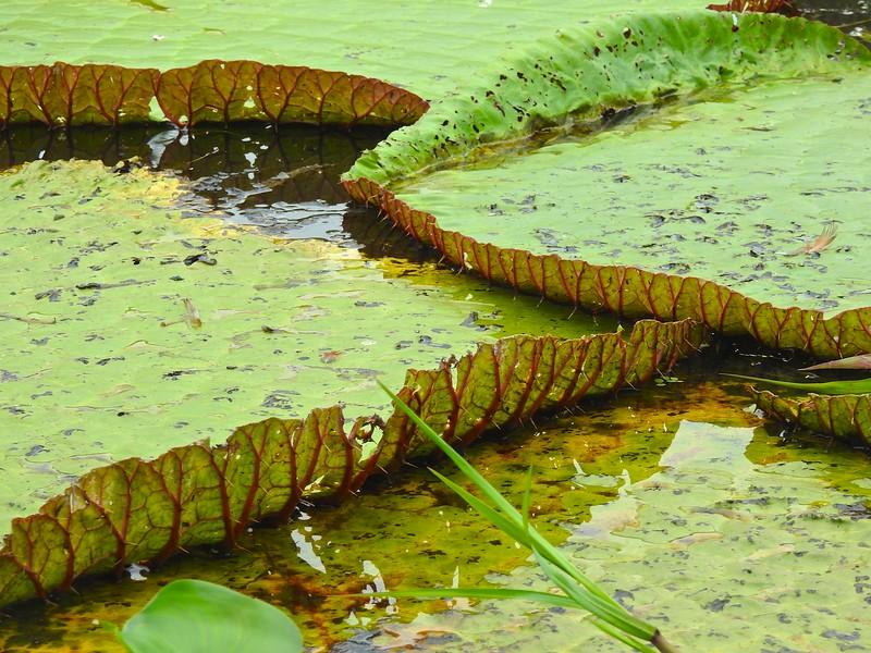 Giant Lily Pads II, January Lake, Brazil