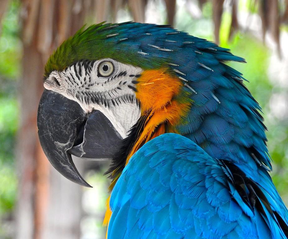 Amazonian Macaw