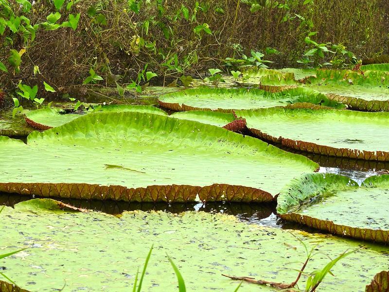 Giant Lily Pads, January Lake, Brazil