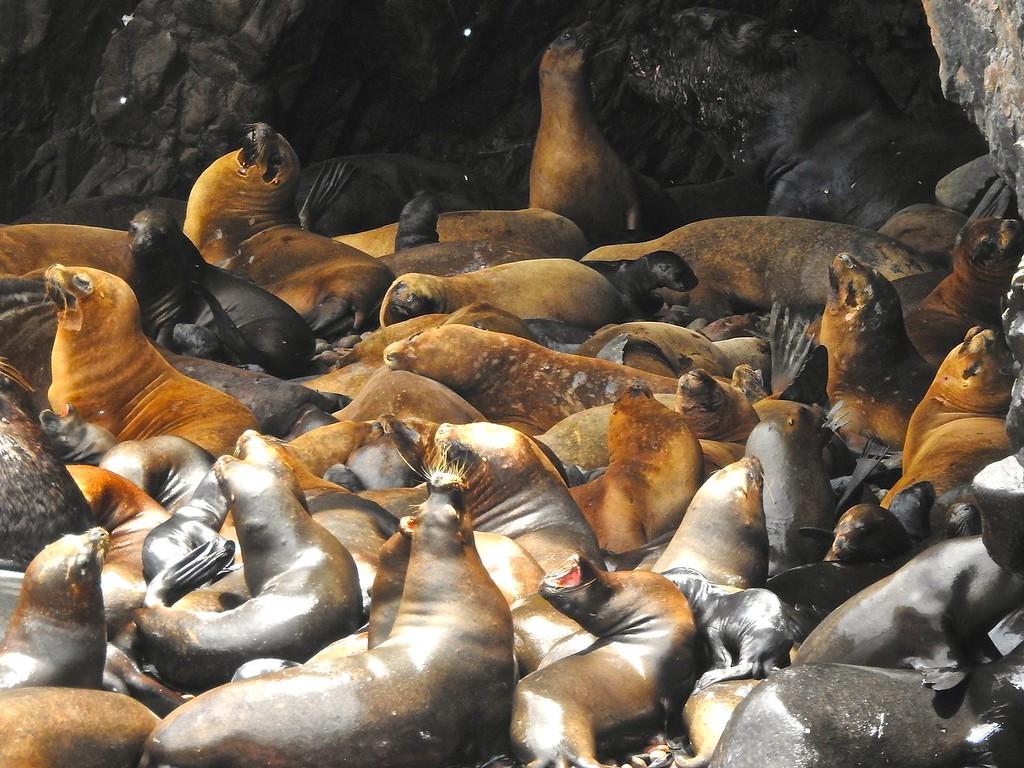 Sea Lion Harem, Islas Ballestas, Peru