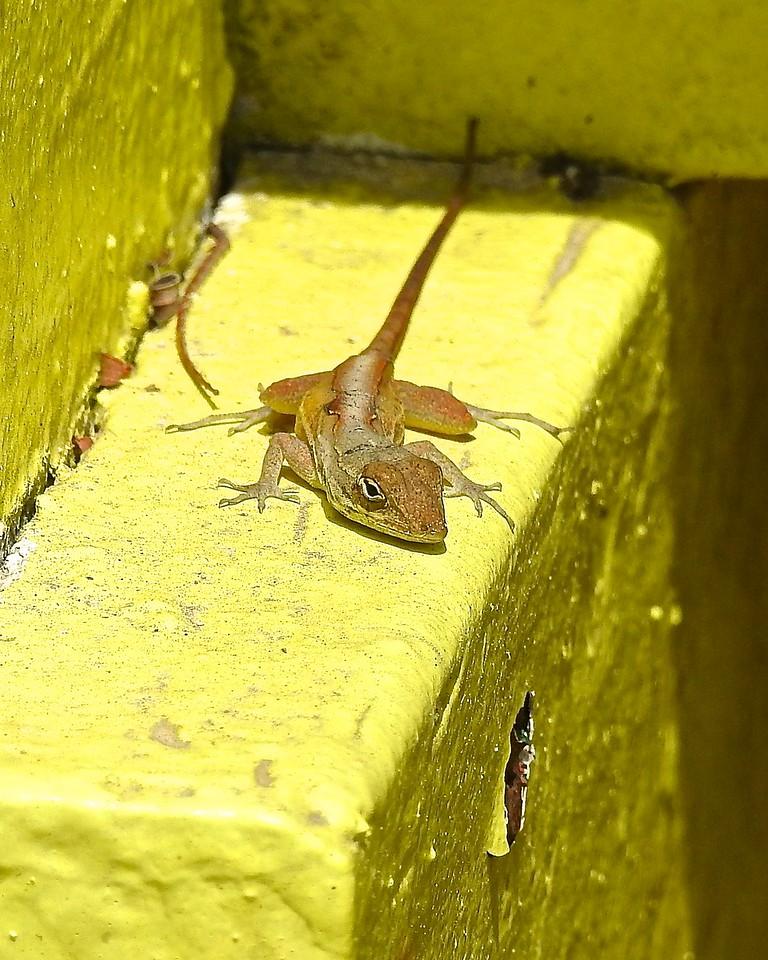 Nassau Lizard