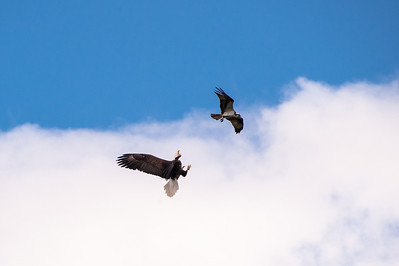Alaska, Bald Eagle