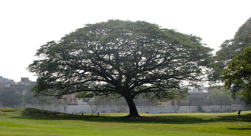 "An amazing tree - when asked the type of tree, Glenn Rourke replied ""green"". It sits 3/4 of the way on the fairway."