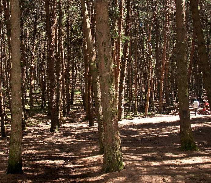 The Forests<br /> The pine tree is not a native of India. It was introduced from Britain, This man-made pine forest, the floor covered with a soft, plush, natural carpet of pine needles is an ideal place for picinics.