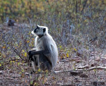 Hanuman langur monkey
