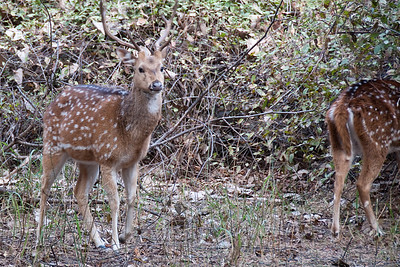 Spotted dear (chital)
