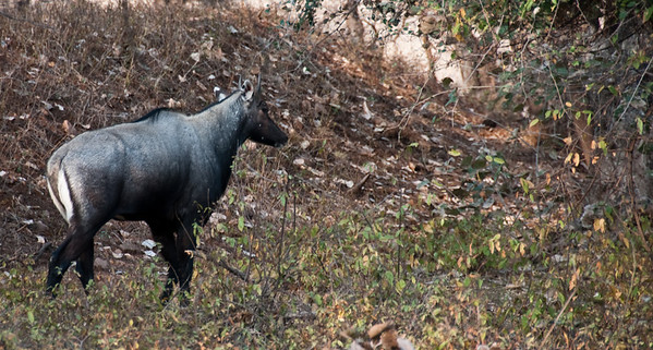 Nilgai antelopes, also known as blue bulls