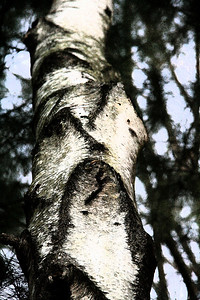 Birch trunk (fresco)
