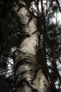 Birch trunk (poster)
