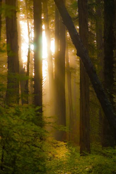 Fog in Trees1