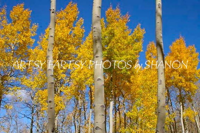 Aspens-trunks & trees