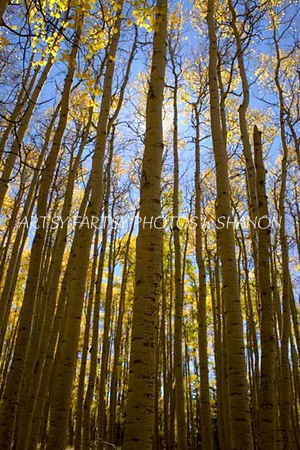 Tall Aspens-looking up