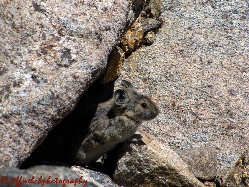 Anyone who has tried to take a picture of one of these guys knows it requires a lot of patience.  They don't usually sit still for long.  Pika!