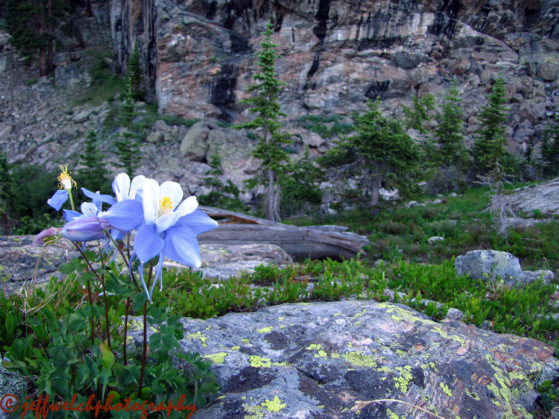 Columbines might be my favorite alpine flower.