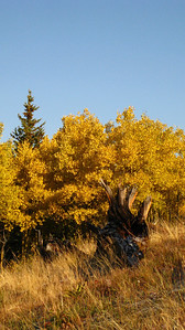Golden aspens, and a stump (the remnanets of a clear-cutting operation).