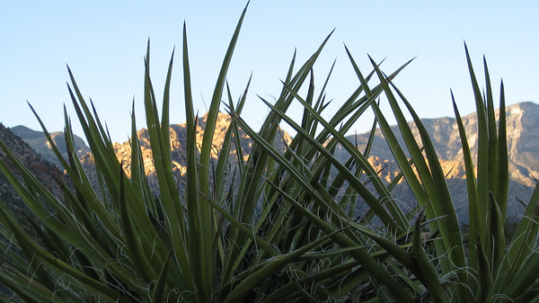 Yucca at sundown.