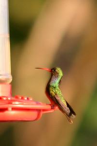 Blue-throated Goldentail Hummingbird