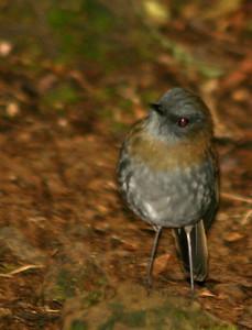Black-billed Nightingale Thrush