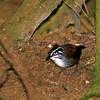 White-breasted Wood-Wren