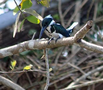 Amazon Kingfisher female