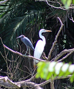Great Egret & Little Blue Heron