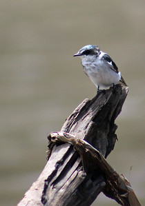 Mangrove or Blue & White Swallow