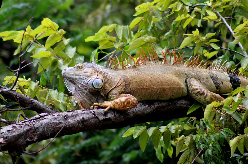 Green Iguana male in mating orange color