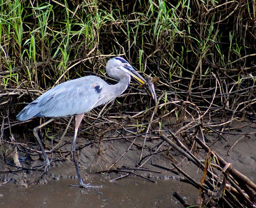 Great Blue Heron with Catfish