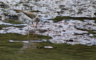 Solitary Sandpiper or Lesser Yellowlegs