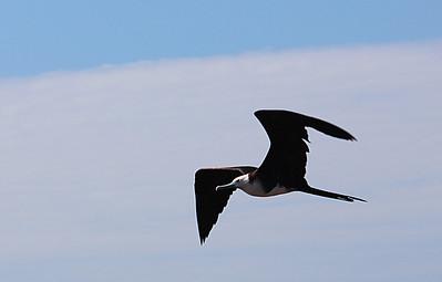 Magnificent Frigatebird juvenile