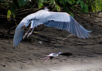 Great Blue Heron & Black-necked Stilt Flying