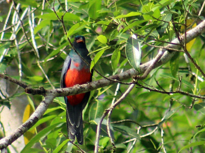 Slaty-tailed Trogon female