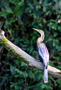 Anhinga female