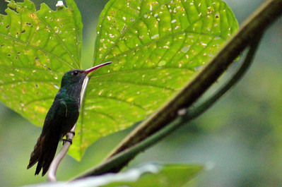 Unknown - Bronze-tailed Plumeteer (Maybe) or Rufous-tailed Hummingbird