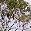 Montezuma Oropendola Nests