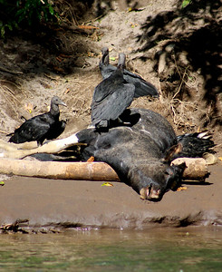 Black Vulture on Dead Calf