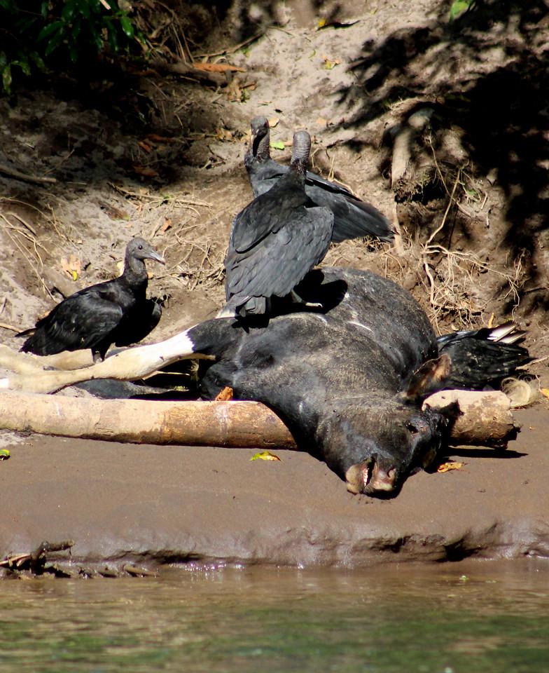 Black Vulture on Dead Calf