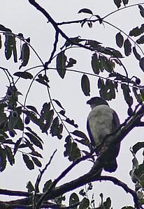 Semi-plumbeous Hawk