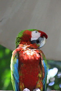 Mixed-Breed Parrot/Macaw