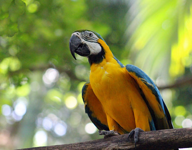Blue & Yellow Macaw  (not native to Costa Rica - only South America)