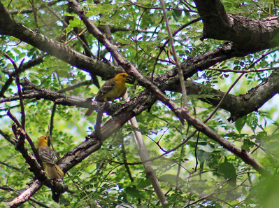 Altamira Oriole  (male & female)