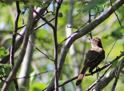 Dusky-capped Flycatcher, MAYBE
