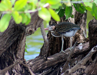 Tiger Heron Chick