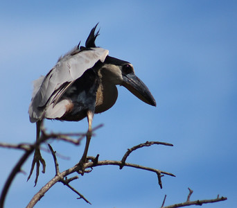 Boat-billed Heron Juvenile Learning to Fly