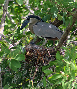 Boat-billed Heron with Chick in Nest