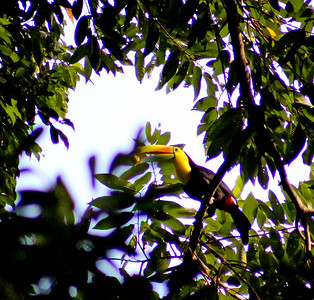 Keel-billed Toucan  (eating)