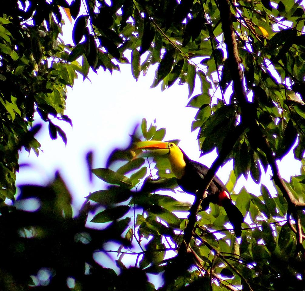 Keel-billed Toucan  (eating)