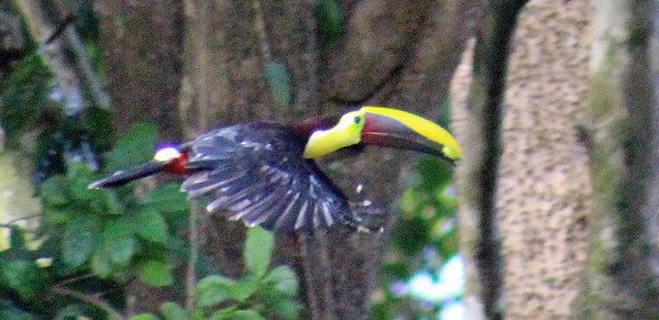 Yellow-breasted Toucan (Black-mandibled)