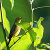 Prothonotary Warbler or other New World Warbler