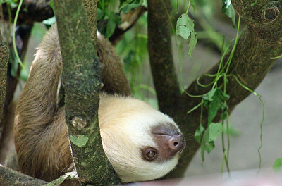 Hoffman's Two-toed Sloth  juvenile